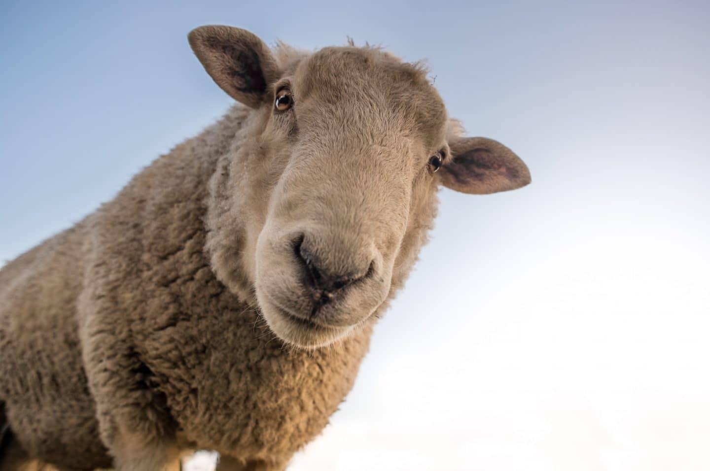Het schaap in mij